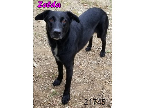 ZELDA'S A PRETTY LAB MIX FEMALE. SHE ...