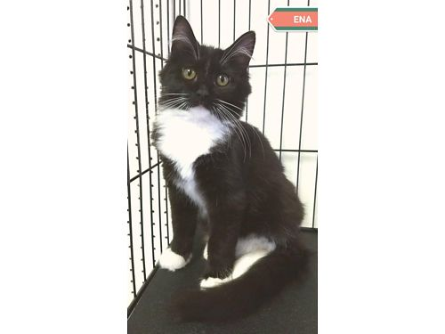 ENA'S A VERY LOVING FEMALE TUXEDO CAT. ...