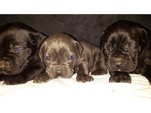 CANE CORSO PUPPIES ICCF registered with 4th generation pedigree papers ready 3-16-17 tails dock