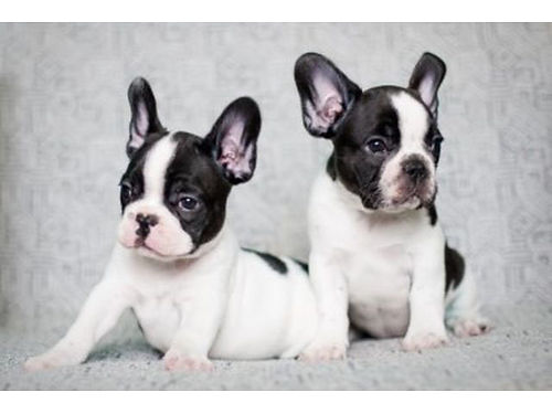 FRENCH BULLDOG PUPPIES Open House Every Weekend 10am-6pm Many Colors Dewormed Tails Docked Sho