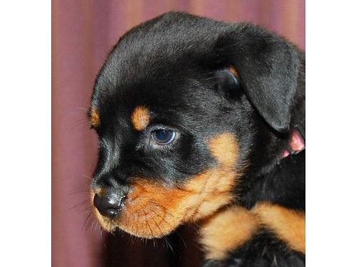 BEAUTIFUL AKC ROTTWEILER pups small family breeder no kennels outstanding genes and great tempers