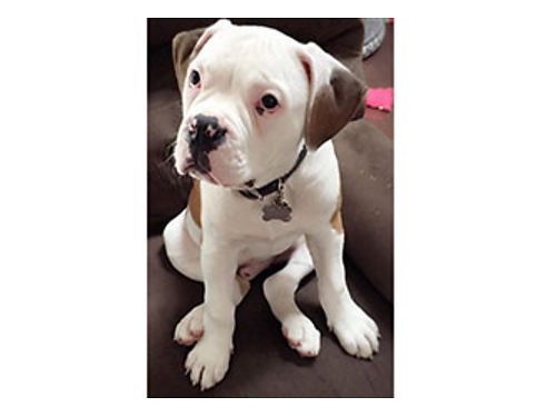 NKC UCA AMERICAN BULLDOG puppies males  females pick a litter 12 down ready 5-20-17 1000 eac