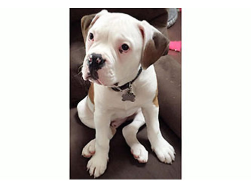 NKC UCA American Bulldog puppies males  females parents onsite first shots dewormed ready now