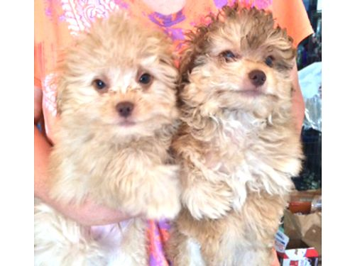 POOPOM MALE shots wormed Health Guaranteed 200 Call 520-398-2603 520-235-3728