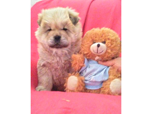 MALE CHOW PUPPY adorable 6 weeks 250 520-272-1625 520-822-4754