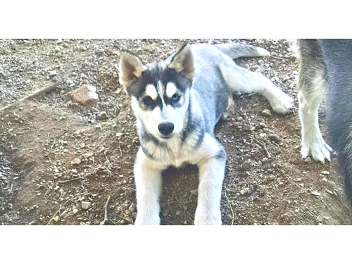 SIBERIAN HUSKY 1 left big beautiful male 3 months gray with blackwhite markings perfect mask