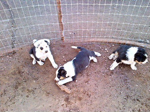 AUSTRALIAN SHEPARD 34 Border Collie 14 mix puppies 7 weeks extremely intelligent Ready Jan