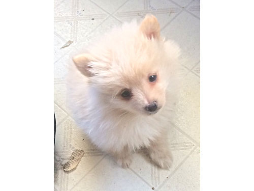 GORGEOUS POMERANIANS 300 for males 350 for females Shots wormed etc Health guaranteed 520-398