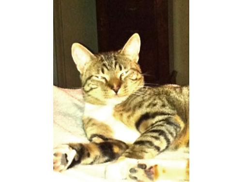 LOST CAT Named Hazel Grey Tabby With White Boots Good Hunter Very Loving If Found Or If You Kn