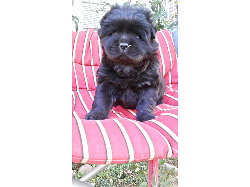 CHOW FEMALE puppy 6 weeks looks like little Teddy Bear house trained 250 520-272-1625 520-822