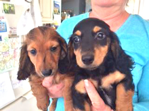 LONG HAIRED Mini Dachsund males Black and Tan 300 Shots wormed Health Guaranteed 520-398-2603