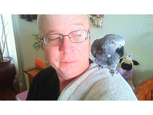 AFRICAN GRAY PARROT female over 300 word vocabulary  sentances hand tamed healthy to right hom
