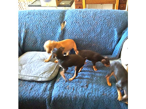 MIN-PIN PUPPIES 3 male 1 female born 71717 Beautiful  adorable  very smart must see to beli