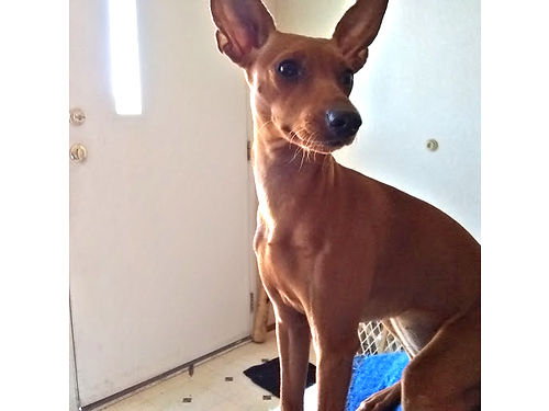 FEMALE MIN-PIN 6 months old beautiful loveable  gentle 500