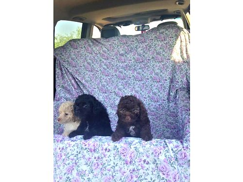 POODLE PUPPIES 90 Poodle 10 Cocker 10 weeks tails docked dewclaws done current shots deworm