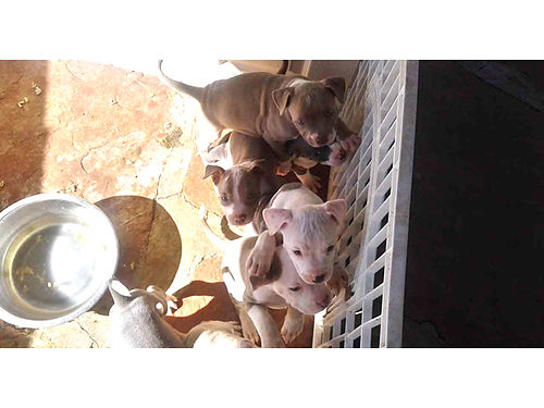 BLUENOSE GOTTI  Fawn Pitbulls 5 female 10 weeks 175 OBO Will deliver free with purchase in Tuc