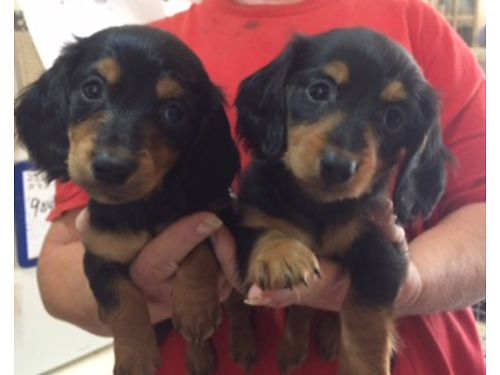 LONG HAIRED Mini Dachshinds Black  Tans mostly 300 Shots wormed health guaranteed Also one blo