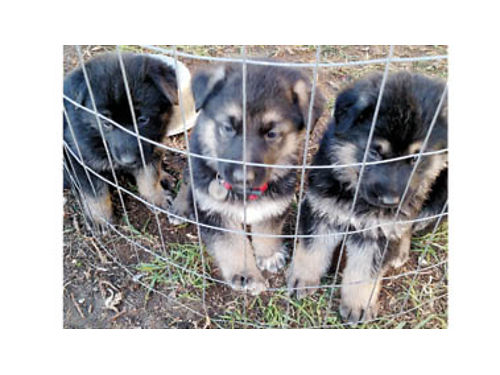 GERMAN SHEPHERD PUPPIES Purebred 350 3-M 4-F Ready to go mom on premises 805-757-8216 Lompo