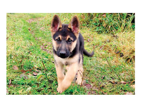 GERMAN SHEPHERD PUPS DOB 3-5-16 Beautiful black and tan military breed father Females 450 Males