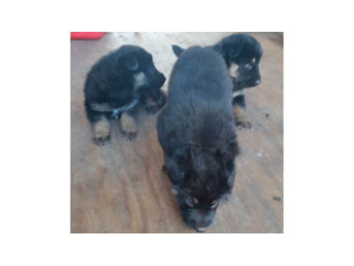 GERMAN SHEPHERD PUPPIES registered w papers Born Oct 6 Ready 12-6-16- accepting deposits Shots