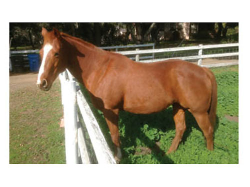 BEAUTIFUL 8YR OLD QUARTERHORSE chesnut mare ready  willing to please 1500 obo Ask for Robin or