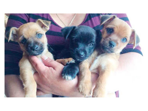 YORKIE CHIHUAHUA Mix Puppies 3-M 300 4-F 350 black  brown mixes will be ready on Dec 22 Pare