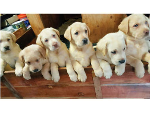 AKC YELLOW LABS Excellent Backgrounds and Certifications Dew Claws Removed and First Shots Males