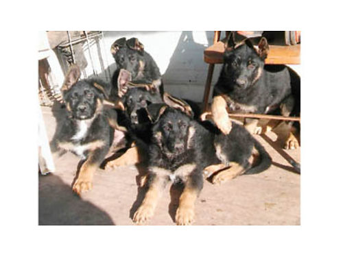 GERMAN SHEPHERD PUPPIES registered w papers Born Oct 6 Ready now Shots done 2-Males 700each