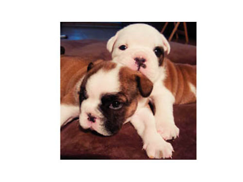 AKC ENGLISH BULLDOG Puppies Ready for new homes 31417 Family raised First shots dewormed with