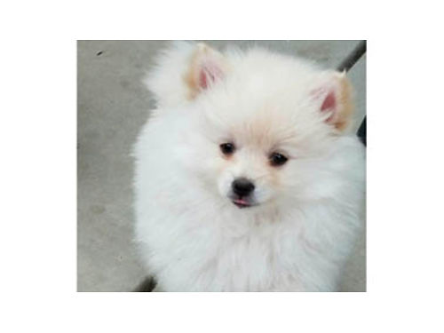 AKC POMERANIAN PUPPIES both males 1-black 1-white 1500each Breeders permit License HB2725