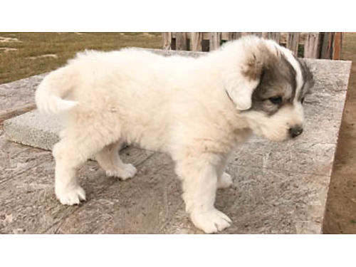 PUREBRED Great Pyrenees Puppies- Ready to go Parents on site Great working dogs for livestock 50