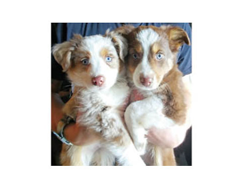 MINI AUSSIE PUPPIES Ready for loving homes Red Tris Red Merles 500each parents on site 1st s