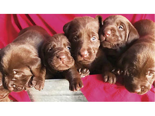 AKC CHOCOLATE LABS DOB 410 Ready June 3 3-M 2-F remain Mom on site have pics of dad both AKC