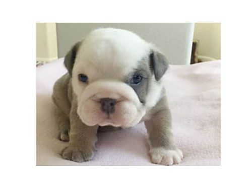 MINI ENGLISH BULLDOGS DOB 4-19-17 3-M 2-F Blue Tri Black Tri and Sable Tri View on Instagram