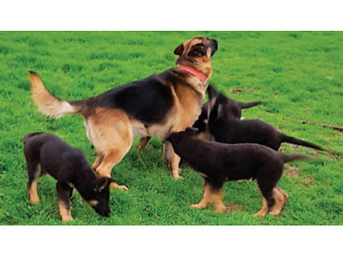 GERMAN SHEPHERD PUPPIES registered w papers Born April 12 Ready June 12 Shots 5-Females 700