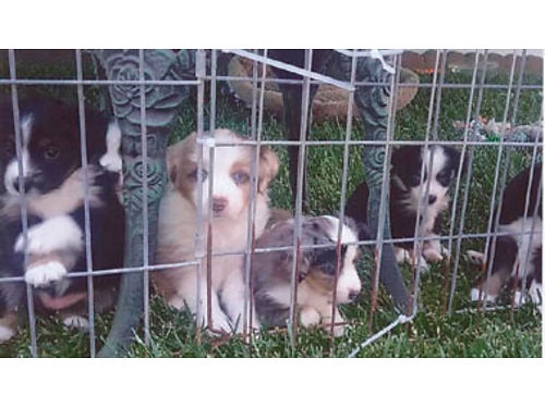 TOY AUSTRALIAN SHEPHERD PUPPIES Purebred with papers First shots and de-wormed very friendly and