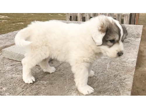 PUREBRED GREAT PYRENEES PUPPIES - Taking orders DOB 5-29-17 Parents on site Great working dogs fo