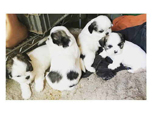 SHIH-TZU PUPPIES FOR SALE Male and Female Ready now 600 805-878-0120
