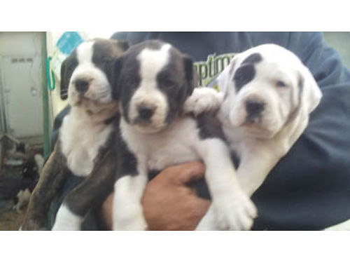 ALAPAHA BULLDOGS DOB 4-15-17 Priced for quick sale 7-F 250 1-M 400 Ready now Great fami