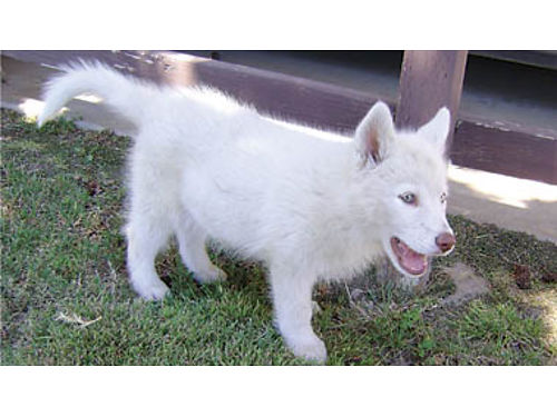 AKC PEDIGREE SIBERIAN HUSKY Puppies Very social breed gentle with young children DOB 4-5-17