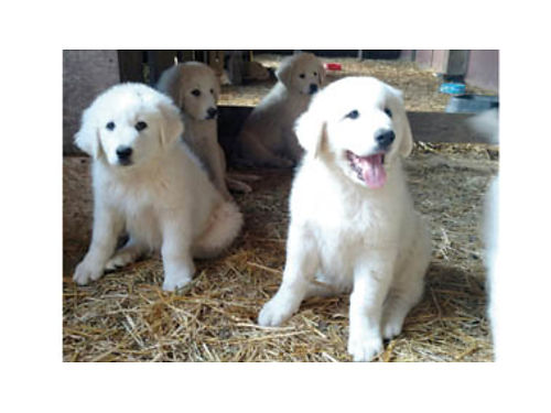 PUREBRED GREAT PYRENEES Puppies 4-F 5-M DOB 426 Ready to go 500each cash no deliveries 805