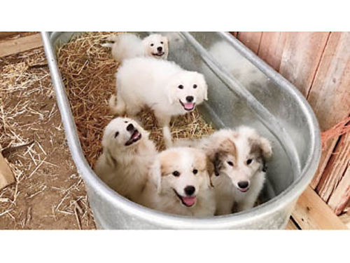PUREBRED GREAT PYRENEES PUPPIES - Taking orders DOB 5-29-17 Ready to go in 2 weeks Parents on sit