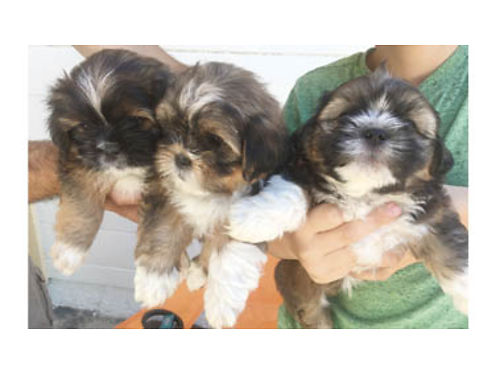 SHIH APSO PUPPIES Shih Tzu Lhasa Apso hybrid available now 1-M 2-F 500ea mother  father on