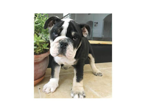 ENGLISH BULLDOG PUPPIES born 041917 Tri color males and females available 2500 pet only inqu