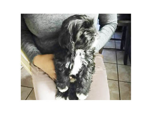 YORKIESHIH TZU FEMALE PUPPY Ready to go 1st shots  deworming done 550 805-478-1589 or 805-310