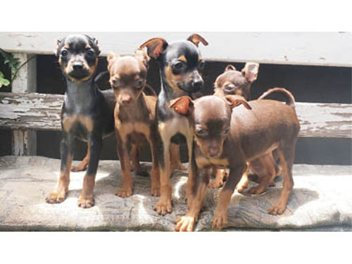 MINI-PINSCHER CHIHUAHUA MIX PUPPIES 3 Brown 2 Black 3-Females 2-Males 3 mos old Ready to go