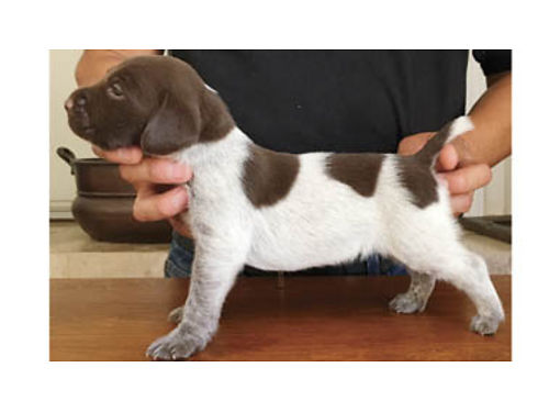 GORGEOUS German Short-haired Pointer pups - champion German and American lines Superb hunting and e
