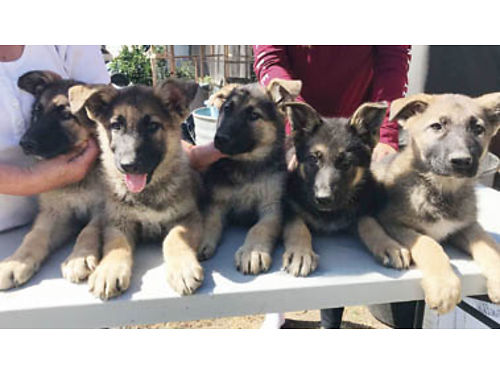 BELGIANGERMAN SHEPHERD Puppies - 5-Females Ready on Aug 20 Mom on premises 450each