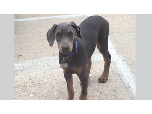 PUREBRED BLUE DOBERMAN PUPPY 14 week old housetrained Female AKC papers available for registration