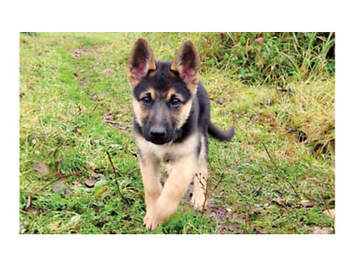 GERMAN SHEPHERD PUPS DOB 8-10-17 Beautiful black and tan military breed father 5 Females and